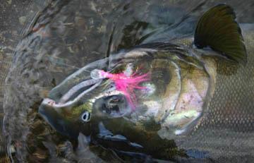 Alt-Kamchatka Raduga River coho silver salmon