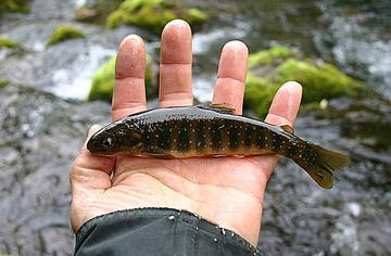 Alt-Камчатка река Озерновская карликовый голец мальма