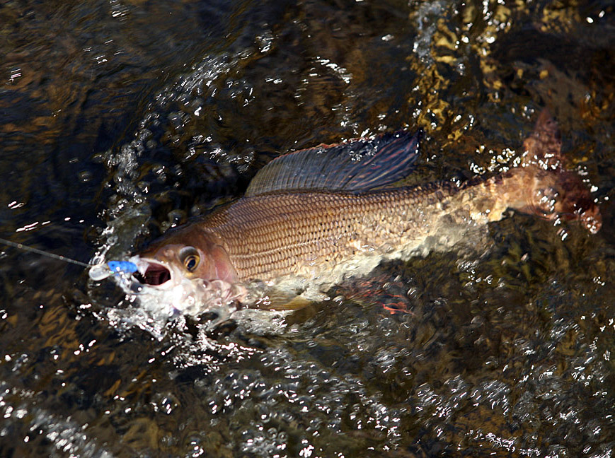 Alt-wobbler-fly grayling Kamchatka