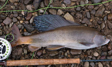 Alt-Kamchatka grayling