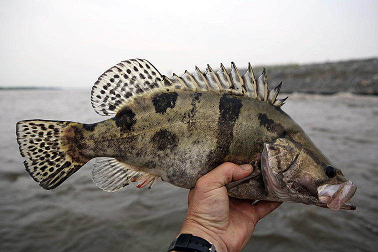 Alt-Amur flyfishing Mandarin bass