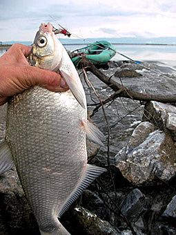 Alt-Amur flyfishing white bream