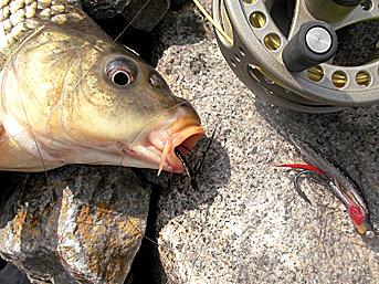 Alt-Amur flyfishing carp