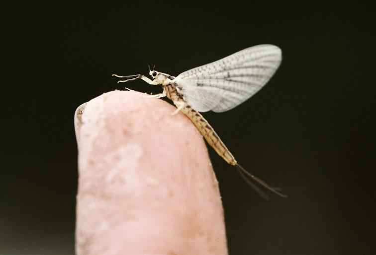 Alt-Sakhalin Tym mayfly