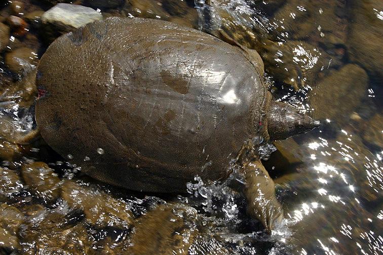 Alt-Амур-мягкотелая-черепаха