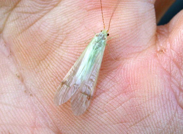Alt-Amur-flyfishing-caddisfly