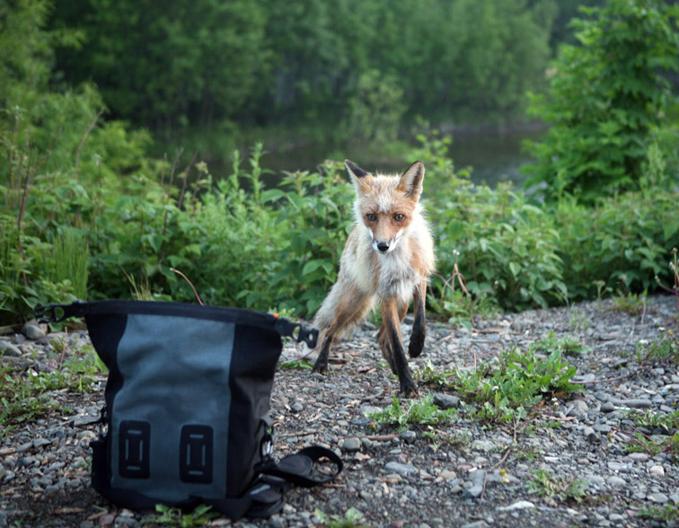 Alt-Sakhalin-Nabil-fox