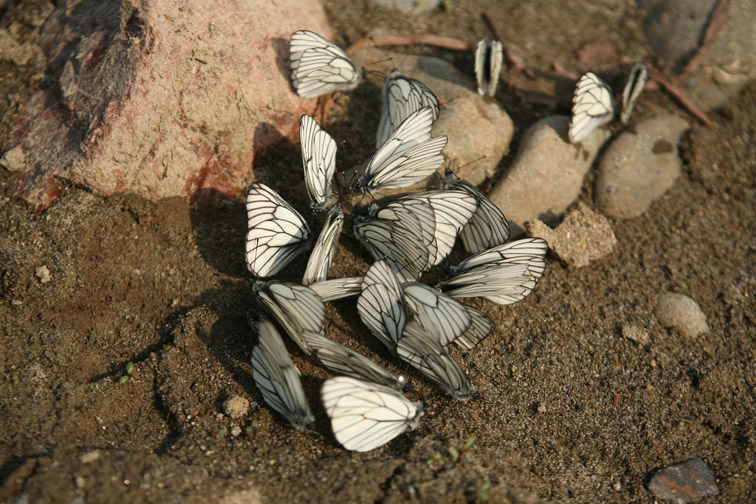 Alt-Sakhalin-Nabil-butterfly