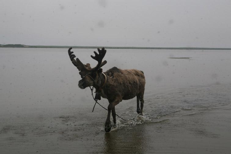 Alt-Sakhalin Island Piltun Bay Chaivo Bay reindeer