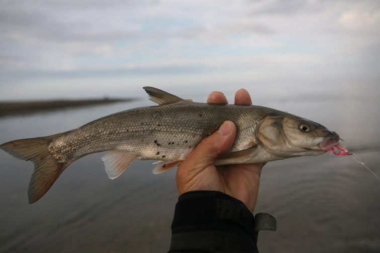 Alt-Sakhalin Tunaicha Sea of Okhotsk flyfishing redfin