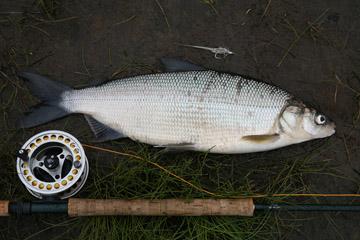 Alt-Bichi-Udyl-whitefish