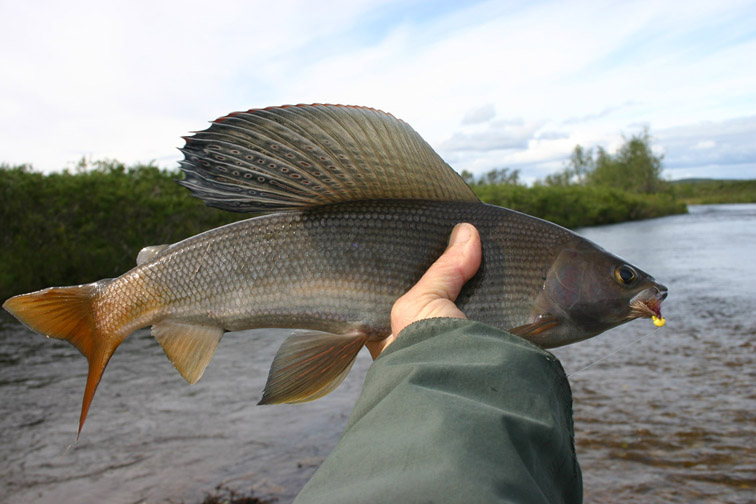Alt-flyfishing-grayling-Kamchatka-Ichiginnyvayam