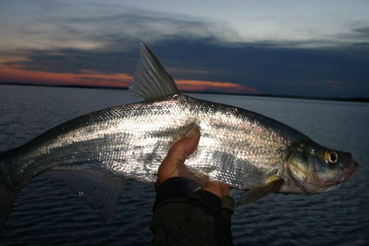 Alt-flyfishing-Amur River-skygazer-mayfly