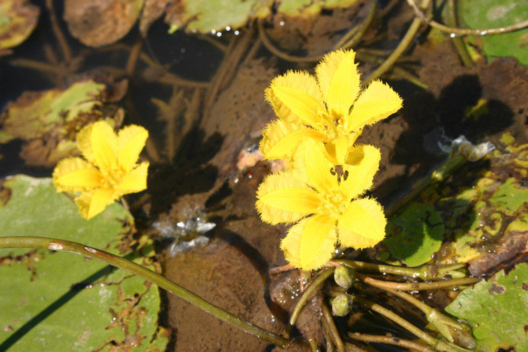 Alt-aquatic plant-Nymphoides peltate