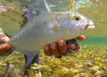Alt-Seychelles-flyfishing-trevally
