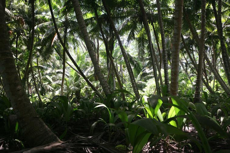 Alt-Seychelles-Alphonse island-palm forest
