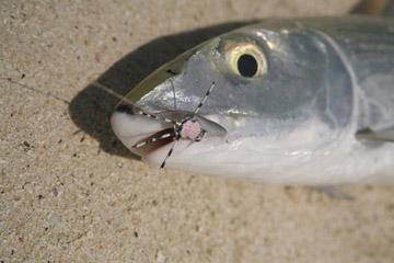 Alt-Seychelles-flyfishing-Alphonse
