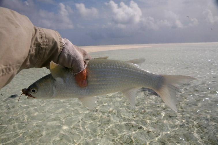 Alt-Сейшелы-Альфонс-рыбалка-нахлыст-кефаль