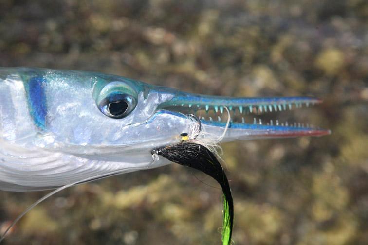 Alt-Seychelles-flyfishing-Alphonse-needlefish