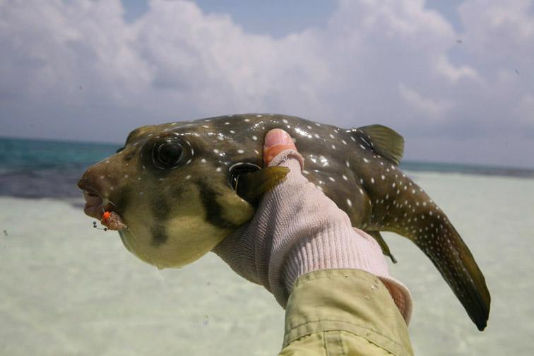 Alt-Seychelles-flyfishing-Alphonse-pufferfish
