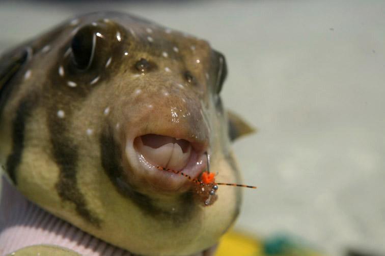 Alt-Сейшелы-Альфонс-рыбалка-нахлыст-иглобрюх