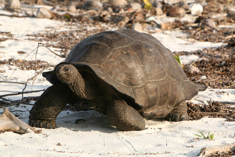 Alt-Seychelles-flyfishing-Alphonse-turtle