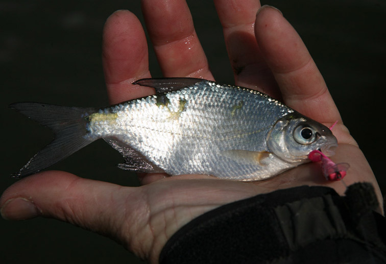 Alt-Volga-delta-silver bream-flyfishing