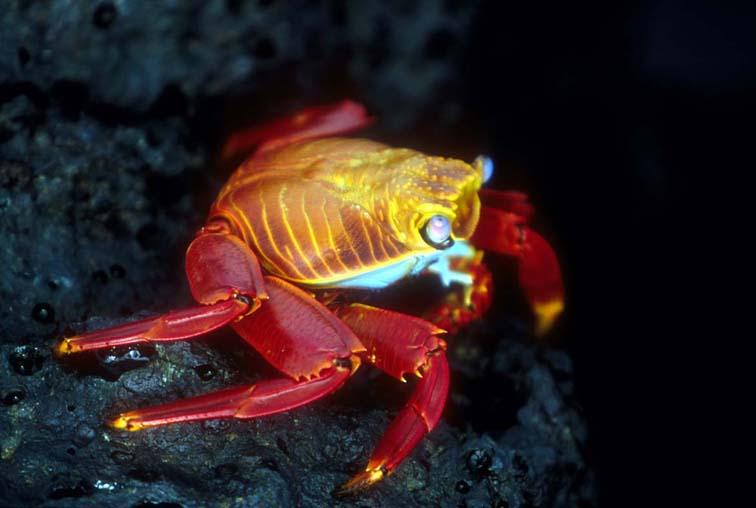 Alt-Galapagos, crab