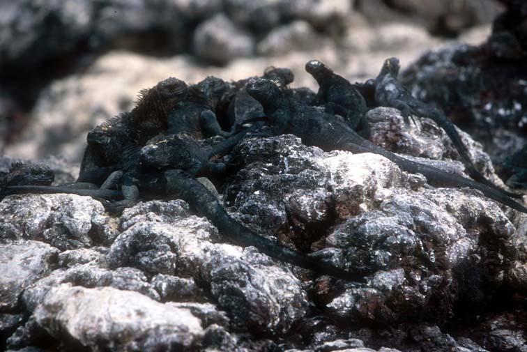 Alt-Galapagos, marine iguana