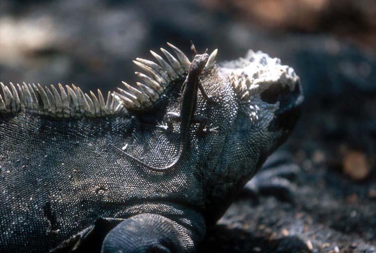 Alt-Галапагосы-морская игуана-ящерица