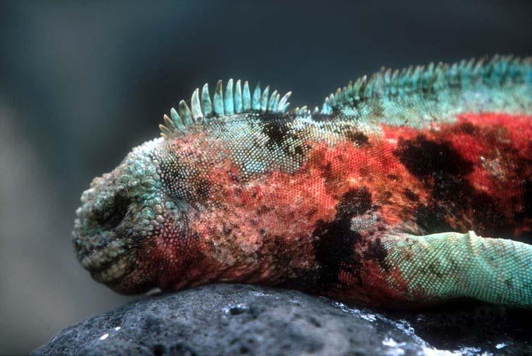 Alt-Галапагосы-морская игуана