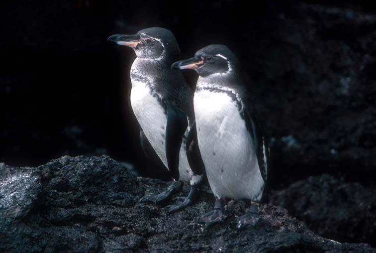 Alt-Галапагосы-пингвины