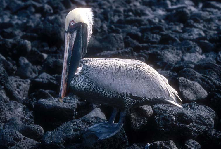 Alt-Galapagos