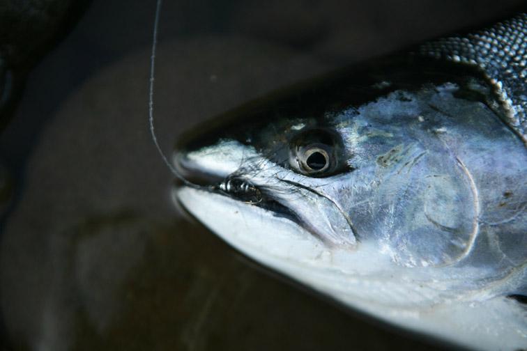 Alt-Sakhalin-Agnevo-cherry salmon