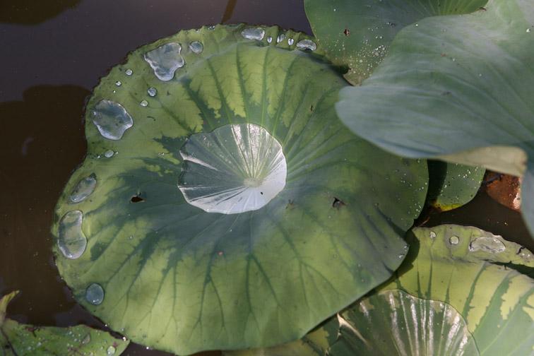Alt-lotus-Komarov's lotus-Amur-Khabarovsk