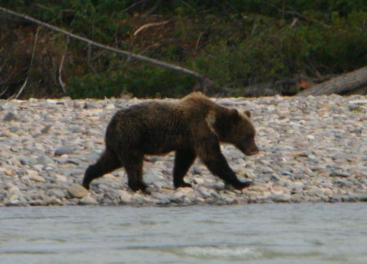 Alt-Улья-Охотск-медведь