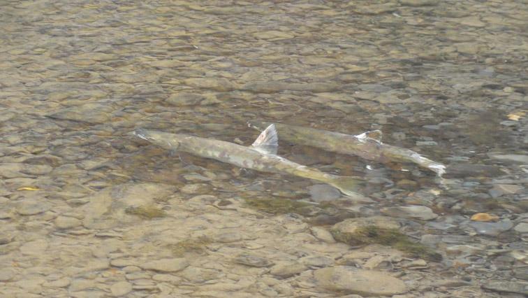Alt-Tugur-taimen-flyfishing
