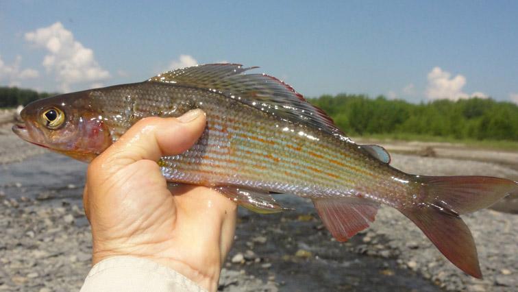 Alt-Tugur-grayling-flyfishing