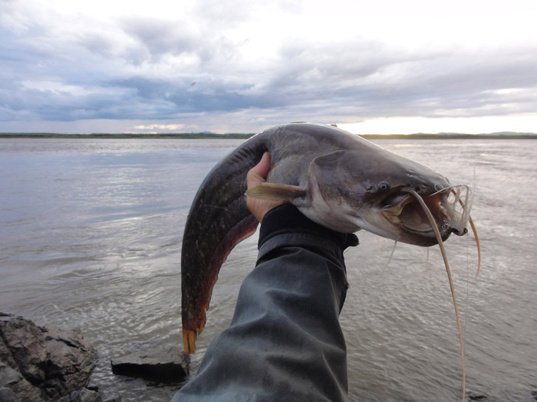 Alt-Amur-catfish-flyfishing