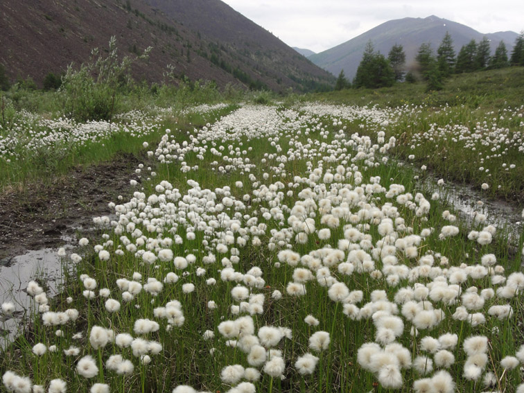 Alt-Chukotka-cottonweed