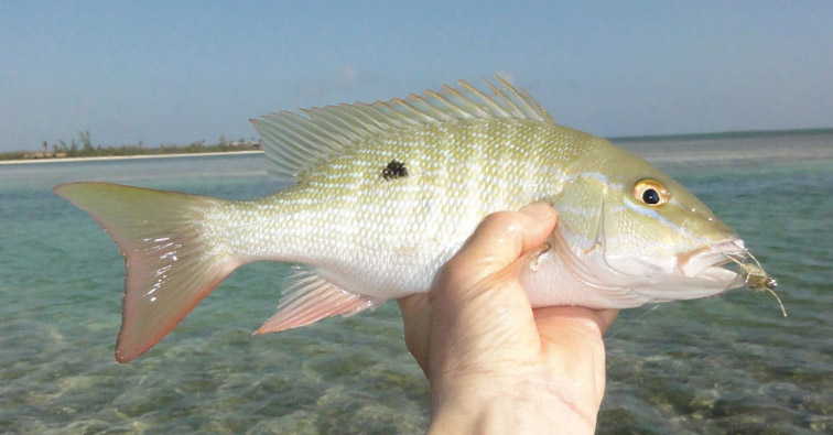 Alt-Cuba-Cayo Coco-Cayo Guillermo-fishing-flyfishing-mutton snapper