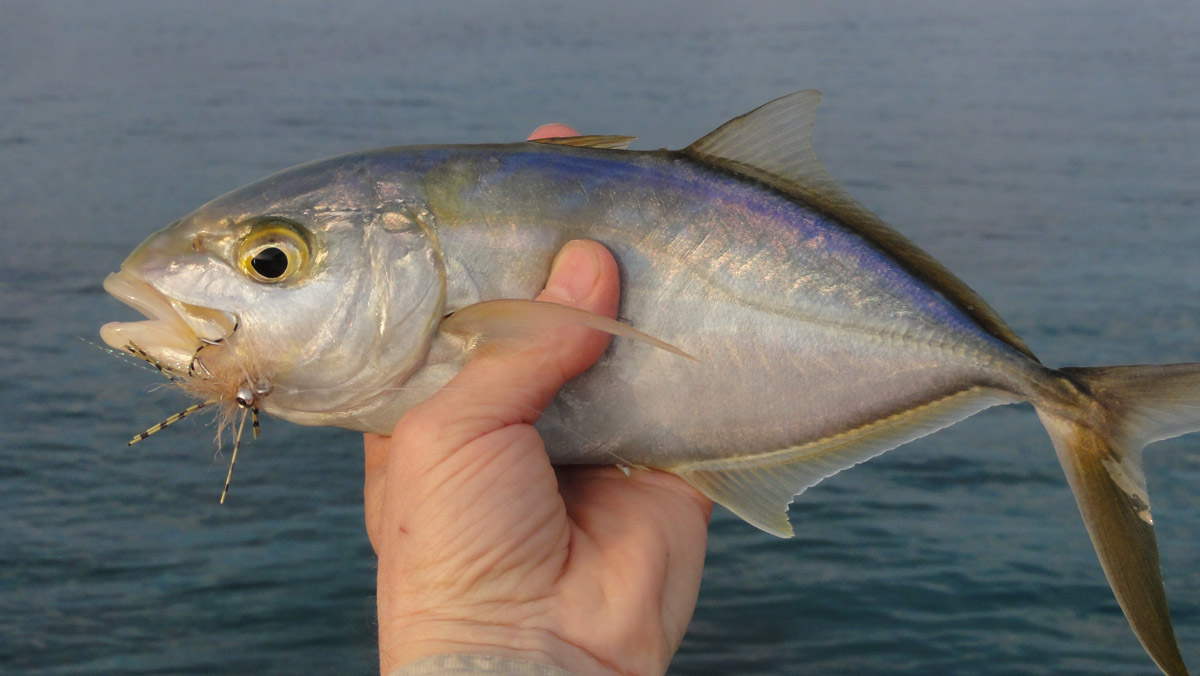 Alt-Cuba-Camaguey-La Boca-fishing-saltwater-flyfishing-bar jack