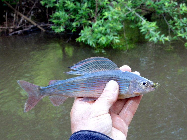 Alt-Khabarovsk-Amur-flyfishing-nymph-nymphing