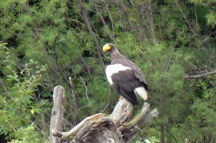 Alt-Ул-Амур-Орель-заломы-белоплечий орлан