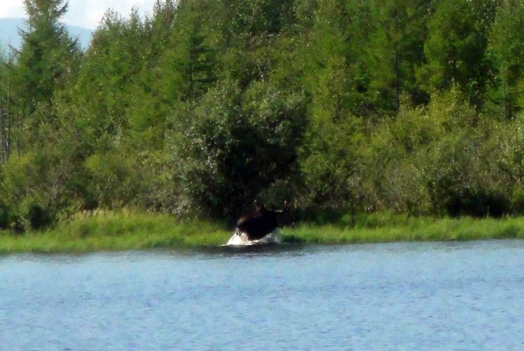 Alt-Amur-Amgun-Dalzha-moose