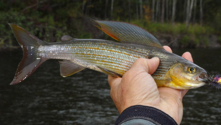 Alt-Amur-Anyui-flyfishing-yellowspotted grayling