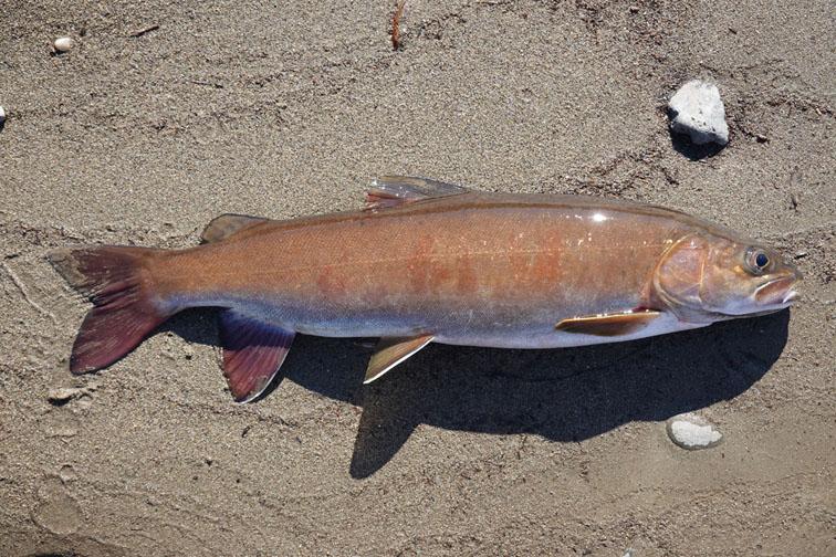 Alt-Uda-flyfishing-lenok