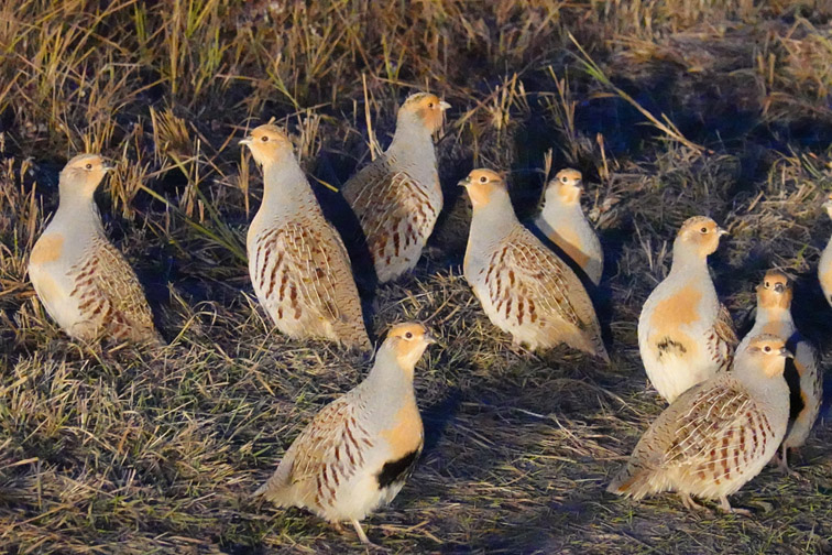 Alt-Mongolia-Onon-grey partridge