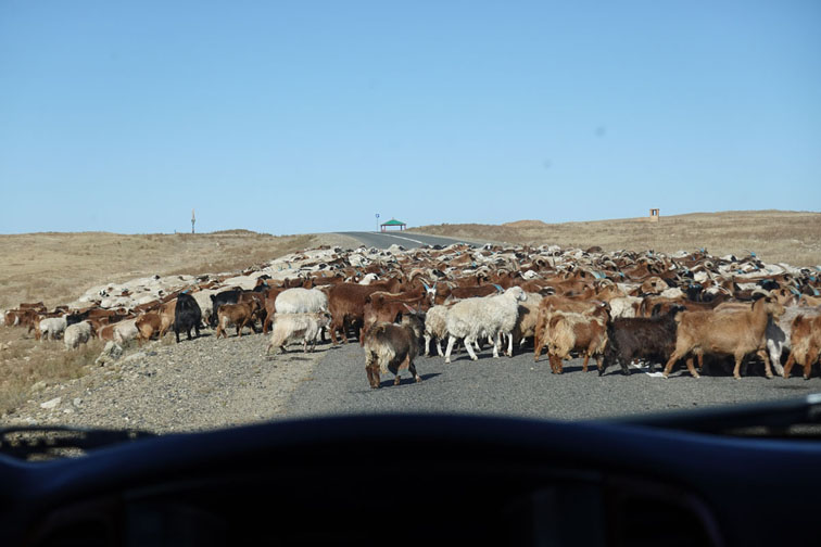 Alt-Mongolia-Onon-Kashmere goats