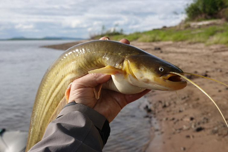 Alt-Lower Amur-flyfishing-catfish